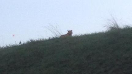 Tiger On The Loose Near Disneyland Paris 18