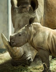 Vote to Name a New Baby Rhino Girl at Disney's Animal Kingdom! 17