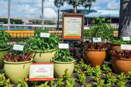 How to Grow Amazing Container Gardens Seen at Walt Disney World Resort 7