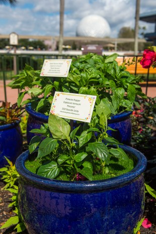 How to Grow Amazing Container Gardens Seen at Walt Disney World Resort 8