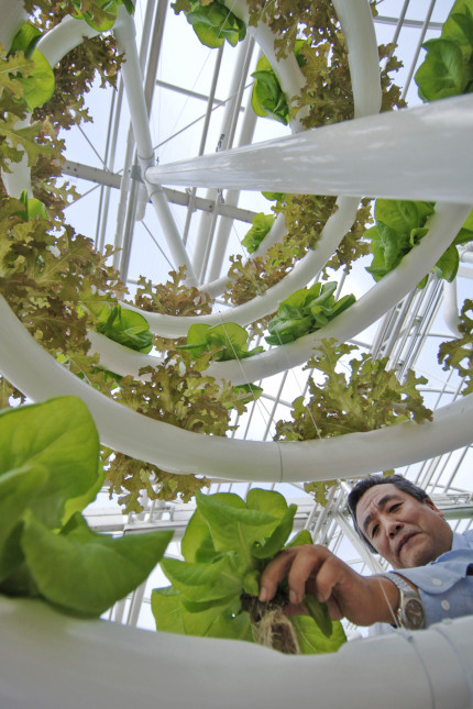 "(FEB. 20, 2006) -- Yong Huang harvests lettuce Feb. 20, 2006 that was grown using a new spiraling system created by his Epcot Science team. Huang and the Epcot team created the agricultural systemÊby combiningÊa ""film"" technique of nutrients with a spiral-shaped growing system to produce vertically grown lettuce.ÊApproximately one dozen spiraling lettuce units were transplanted from the backstage areas at The Land to the experimental show greenhouses that guests tour on the ""Living with theÊLand"" boat ride inside the theme park. Once harvested, the lettuce will be served on salads at theme park restaurants. Epcot isÊone ofÊfour theme parks at Walt Disney World Resort in Lake Buena Vista, Fla.Ê(Diana Zalucky, photographer)"