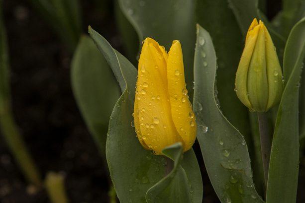 Yellow tulip- Downtown Disney District at Disneyland Resort