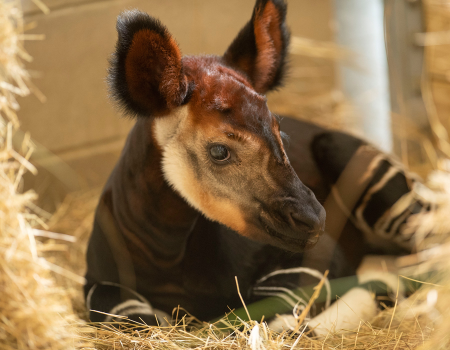 The Okapi Population Gets a Boost at Disney's Animal Kingdom Lodge 6