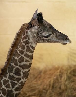 It's A… Giraffe Calf at Disney's Animal Kingdom 1