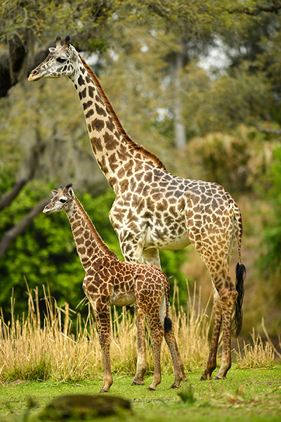 Welcome to Animal Kingdom Jabari the Giraffe Calf 2