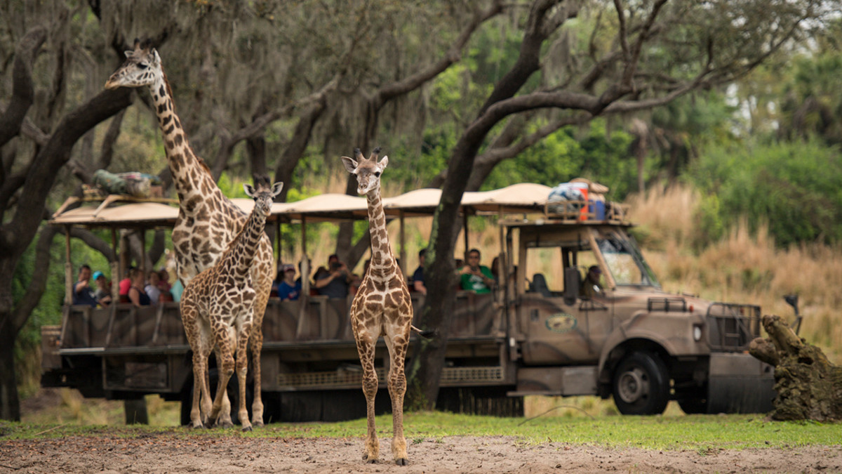 Welcome to Animal Kingdom Jabari the Giraffe Calf 35