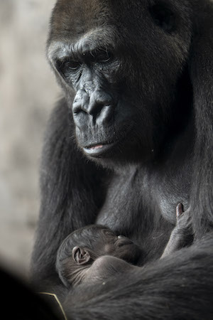 There's a New Baby Gorilla at Disney's Animal Kingdom! 2