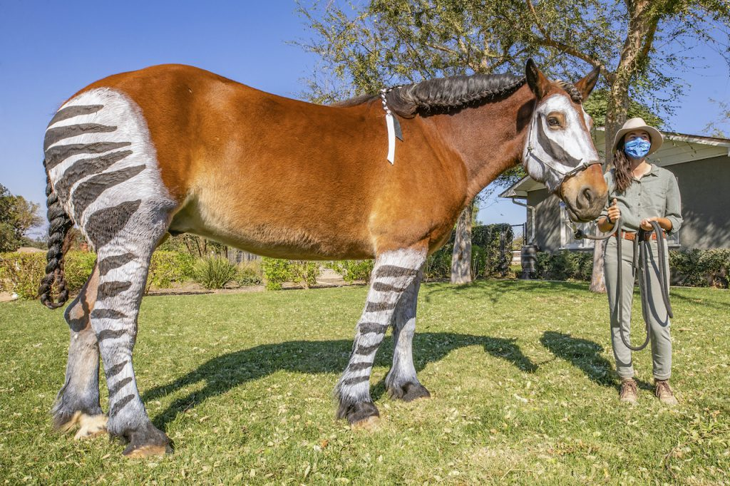 Jack, a Percheron and Belgian Draft Horse mix dons the stripes of the African mammal known as the okapi