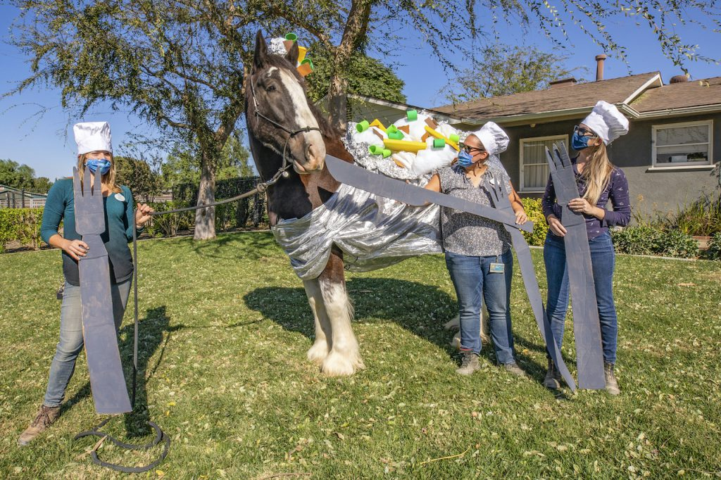 Maximus, a Clydesdale Draft Horse, is dressed to appeal to baked potato lovers everywhere